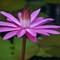 lotus CairnsDSC_2605_052