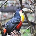 Parrot at Brasil