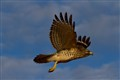 Hawk On The Wing