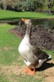 One Angry Goose