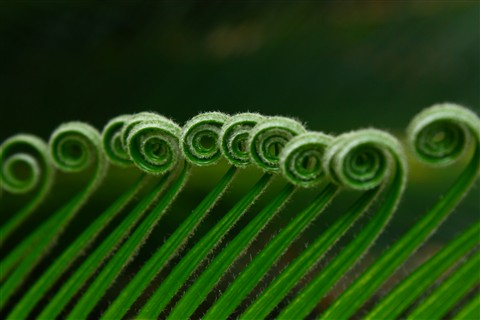 Nature's Pattern Matching: Young fronds of a Cycas