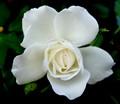 snow rosey