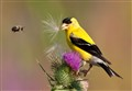 Goldfinch and Bumble Bee