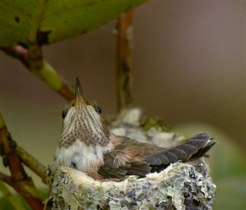 Chaikin_Ann_RufousHummingbird-5