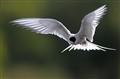 Arctic Tern hunting