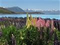 Lupines, Lake Tekapo, NZ