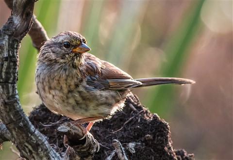 Light sparrow