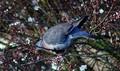 Spring Pigeon