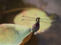 Dragonfly on Lotus bud