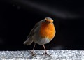 Snow is here, where is food?(Erithacus Rubecula)