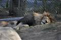 Løvesøvn