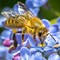 Honey bee sipping from forget me nots-