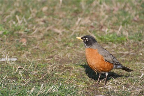 American Robin 2, March 2013