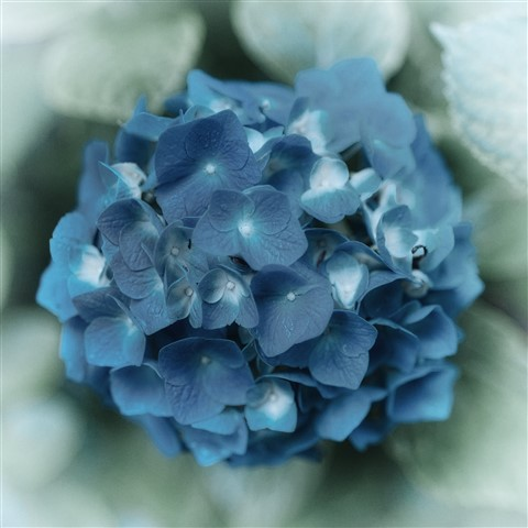 Steel Blue Flowers