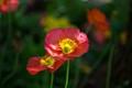 Poppy in italy