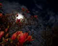 The Night, The Moon & A Magnolia Tree