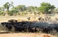 Buffalo at Ruaha NP, Tanzania