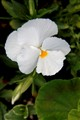 pure white pansy