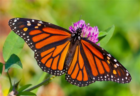 Monarch Butterfly At World's End Reservation