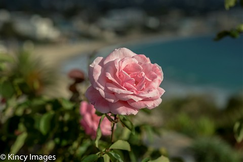 A Rose in Bloom-13