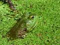 Bullfrog Camouflage