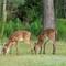 deer morn-9478-1