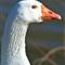 Blue-Eyed-Goose