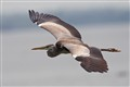 Grey Heron 4