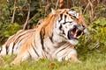 Tiger at Woburn Safari Park(UK)