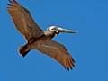 Brown pelican in flight (Pelecanus occidentalis) - Flagler Beach, FL, USA - Date taken - 05/09/2017, 4:45 PM - Photo ID - DSCF4210 - Camera - FinePix X-S1 © 2017