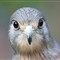 Kestrel Face