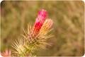 Desert Rose Ready to Bloom