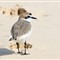 Tunisia_Kentish Plover 01