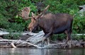 Bull Moose, Biggar Lake, Algonquin