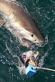 White shark trying to catch a bait