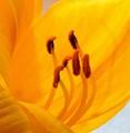 Closeup of a Daylily Blossom