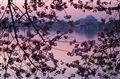 Cherry Blossoms sunrise