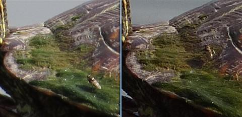 LTZ470 Samples - SX50 Fine vs FZ200 + Nikon TC - Turttles - Detail comparison 03