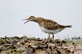 Pectoral sandpiper looking aggressive