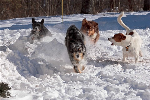 Dogs race through the snow