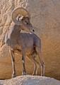 Desert Bighorn Dominant Ram