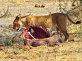 A lion at a water buffalo kill in Tanzania.