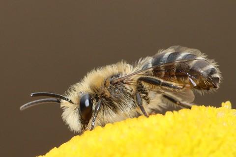 Bee - Colletes daviesanus (Davies' Colletes)