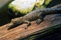 Little_gator