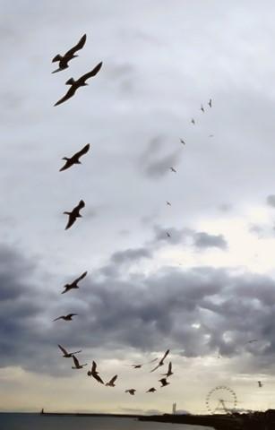 Gull_Aerobatics_1