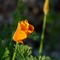 California Poppies Unfurling