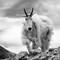 Crabby Mountain Goat