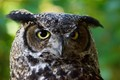 Coastal Great Horned Owl