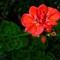 Geranium-Flower-Web