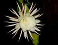 Moon Cactus Flower